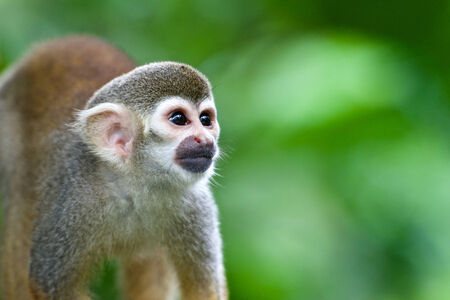 Bright-eyed squirrel monkey in a forest