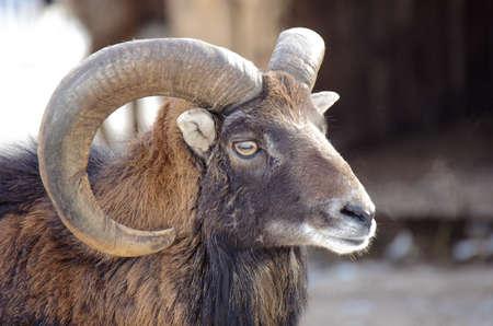 Bighorn Ram Portrait Closeup