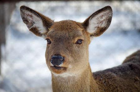 Female white-tailed deer, Odocoileus virginianus Stock Photo