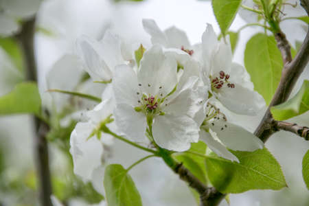 White apple tree flowers closeup. Blooming flowers in a sunny spring day background. Stock Photo
