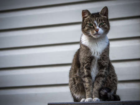 A tough street cat with green eyes looking in the camera