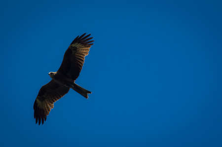 Black kite with spread wings flying in blue sky
