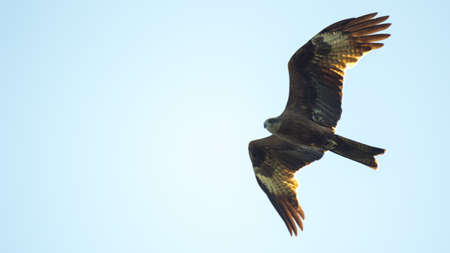 Black kite, spread wings flying in the sky. Isolated.