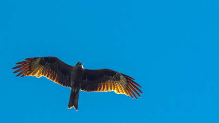 Black kite, spread wings flying in blue sky Stock Photo
