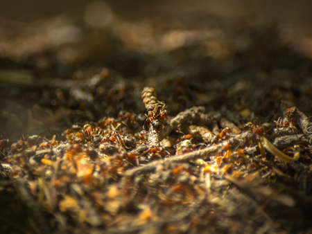 Close-up of ants working at the anthill in the woods