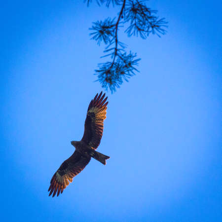 scavenger: Black kite, spread wings flying in the blue sky above the pine trees top branches