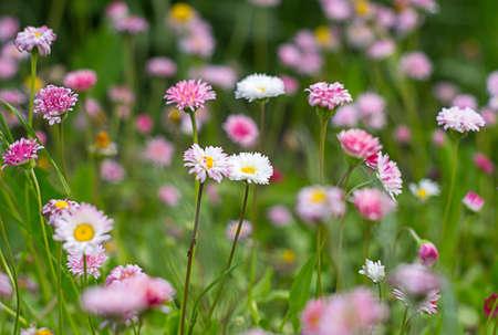 Close-up of flowers of pink and white flowers in the grass