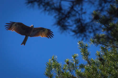 Sharp top branches of pine trees with blurred black kite flying in the background Stock Photo