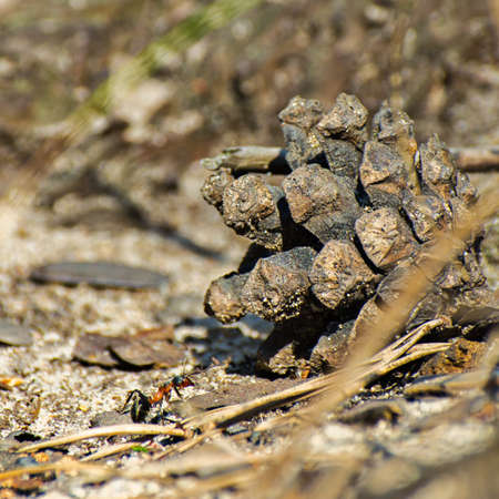 Macro image of a single ant climbing up the pine cone on the forest ground on a sunny summer day Stock Photo