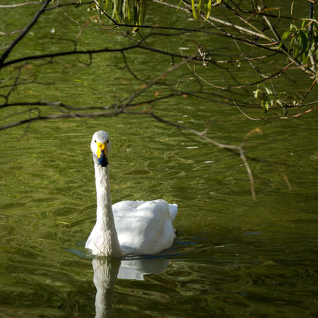 White swan on the green water pond under the tree brunches