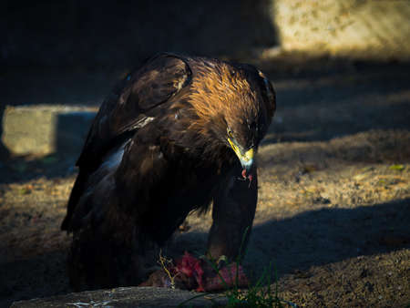 The golden eagle (Aquila chrysaetos) eating meat at sunset Stock Photo