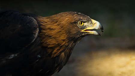 The portrait of golden eagle (Aquila chrysaetos) at sunset