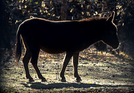 Working animal, religion or political symbol concept: silhouette of a donkey or ass, Equus africanus asinus, against the Autumn sun Фото со стока