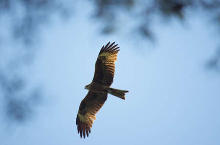Black kite, spread wings flying in the blue sky above the pine trees top branches