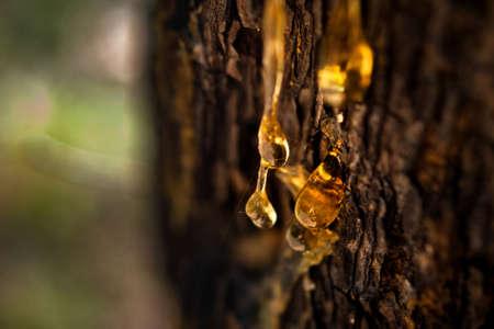 Organisches Lebenskonzept: Auslaufen von leuchtend gelben Tropfen Kiefernteer, Harz, mit einem Spinnennetz auf einem dunklen Baumrindenhintergrund, sonniger Sommertag