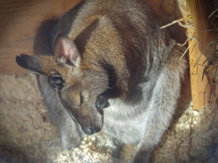 A wallaby, small kangaroo, cleans itself after sleep in a zoo heated pavilion on a sunny winter day Stock Photo