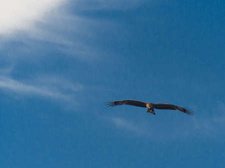 Black Kite (Milvus Migrans) Spread Wings Flying In Sunset Sky