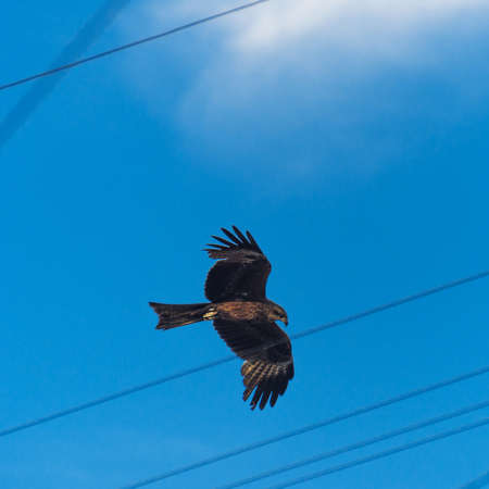 Urban Wildlife Concept: Black Kite (Milvus Migrans) Spread Wings Flying Above Wires In The City Stock Photo