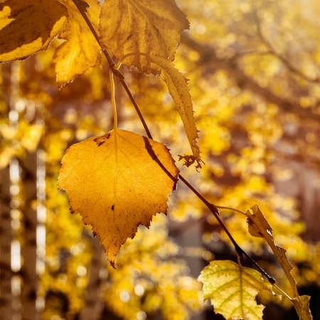 Fall Yellow Birch Leaves In The Sun Rays. Autumn Golden Foliage. 写真素材 - 109578489