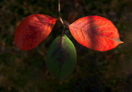 Bright Sunny Highlights On Three Green And Red, Cinnabar Leaves Of Mayday Tree (Prunus Padus) In The Forest. Autumn Colors, Change Of Seasons Concept.