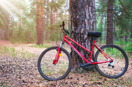 Red Mountain Bike, Bicycle Parked by a Big Pine Tree Trunk near The Forest Trail. Summer Morning with Sun Beams
