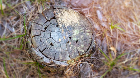 Old, Weathered and Cracked Pine Tree Stump with Moss, Yellow Pine Needles and Insect Holes in a Coniferous Forest on a Summer Morning. Warm Sun Glow. Top-down View