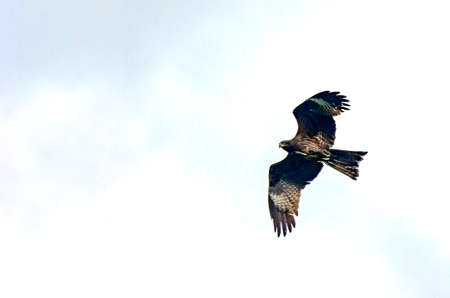 Black kite, spread wings flying in the blue cloudy sky looking for a prey.