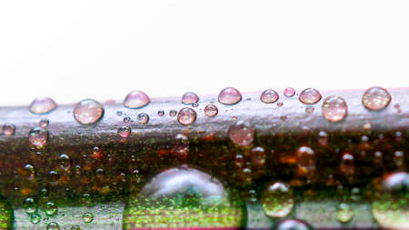 Drops of Water on a Leaf of Red Edged Dracaena. Macro Image of Natural Rain, Dew Drops. Gardening, Fresh Water, Environmental Concept