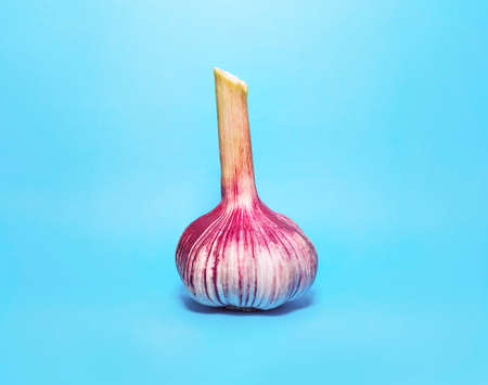 Fresh Purple and Green Garlic Head, Bulb on Light Blue Background. Stock Photo