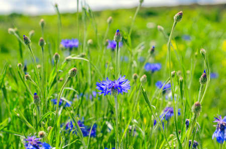 Blue Cornflowers, also called Bachelor's Buttons in the Field on a Bright Summer Day. 版權商用圖片
