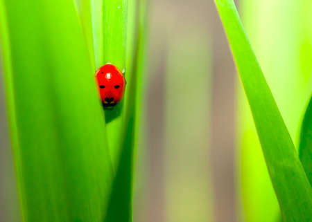 Ladybug Sitting on Green Grass Blade. Purity Concept.