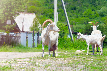 Two Domestic White Nanny Goats or Does (Capra Aegagrus Hircus) and a Goat Kid on a Rural Road in the Village on a Sunny Summer Day.