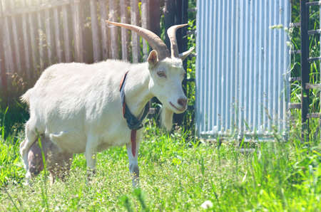 The Domestic White Nanny Goat or Doe (Capra Aegagrus Hircus) With Handmade Collar Walking Along the Fence in a Rural Area on a Sunny Summer Day.