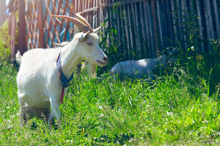 The Domestic White Nanny Goat or Doe (Capra Aegagrus Hircus) with Handmade Collar Walking Along the Fence in Rural Area While a Goat Kid Hiding in the Shade on a Sunny Summer Day.