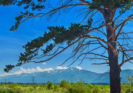 Pine Tree Trunk and Branches, Highland Valley, Power Line, Blue Sky and White Clouds over Mountains on a Sunny Summer Day. Stockfoto