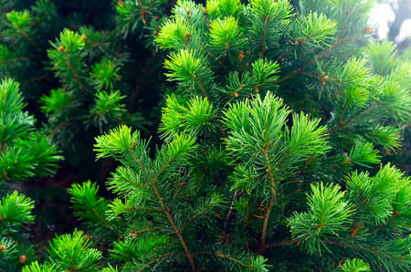 Fresh Bright Green Tips of Spruce Tree Branches.