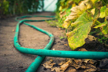 Low Angle View of Cucumber Green and Yellow Leaves and Red Tomatoes in a Greenhouse, Garden Hose on the Ground. Harvest Season Concept. 写真素材