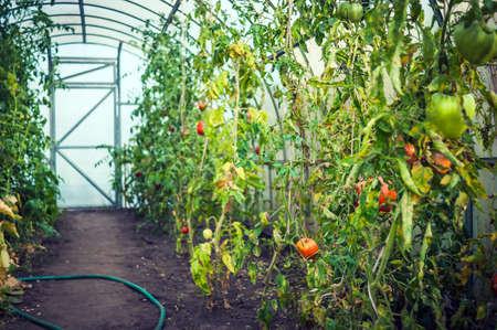 Red and Green Tomatoes in a Greenhouse, Garden Hose on the Ground, Closed Door in Background.