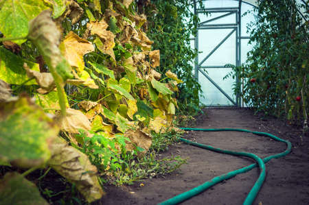Low Angle View of Cucumber Green and Yellow Leaves and Red Tomatoes in a Greenhouse, Garden Hose on the Ground, Closed Door in Background. Harvest Season Concept.