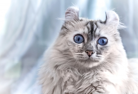 american curl: American Curl cat on light blue background