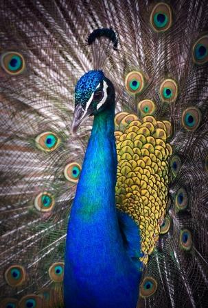 pluma de pavo real: Close-up retrato de hermoso pavo real con plumas