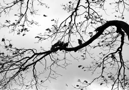 Abstract nature background with birds and trees  Monochrome photo of Dove on the branch of old tree in the autumnal park photo