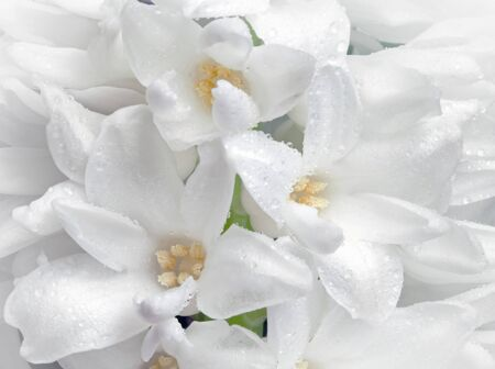 White hyacinth flowers with droplets close-up photo photo