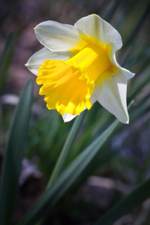 narcissist: Yellow narcissus flower, closeup photo