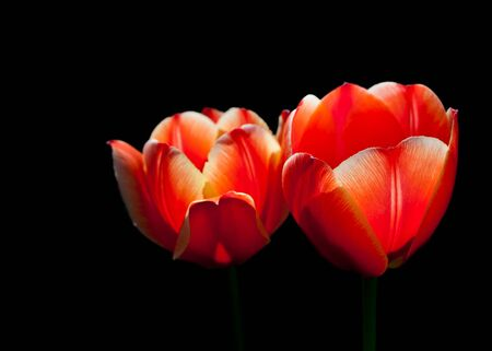 Closeup photo of two bright red tulip flowers isolated on black background photo