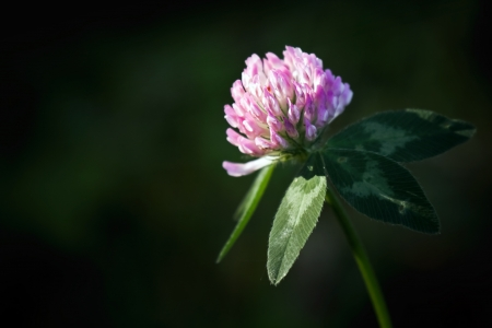 Single red flower clover on dark background photo