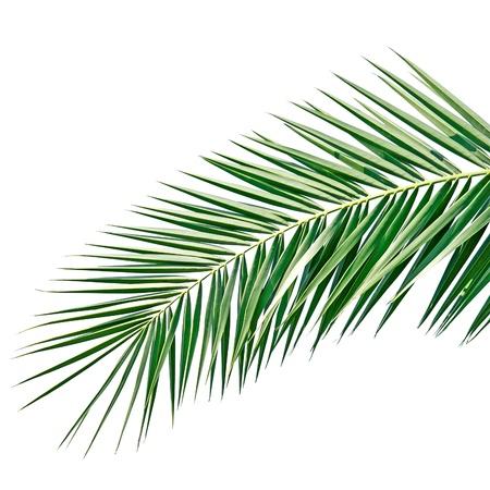 evergreen branch: Hoja de palma aislada en el fondo blanco Foto de archivo