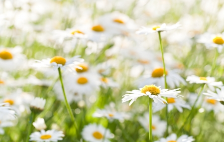 Wild chamomile on a meadow  Photo with shallow depth of field photo