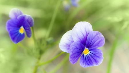 Viola tricolor  Pansy flowers closeup photo with shallow depth of field photo