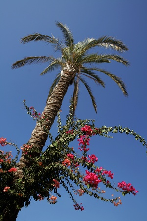 Looking up on a palm tree against the blue sky photo